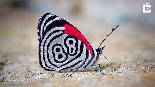 ¿Qué Significa El Número 88 Dibujado En Las Alas De Esta Mariposa?