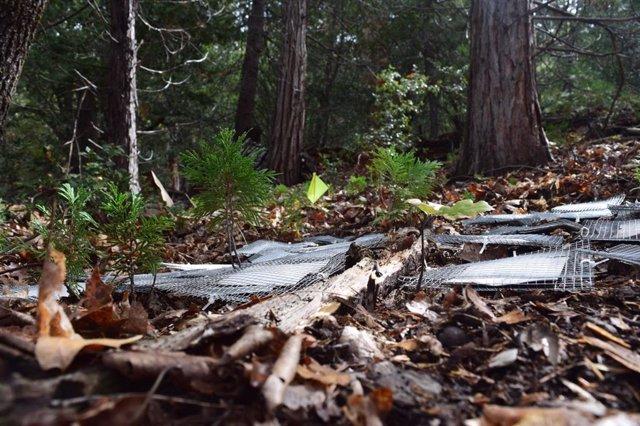 Archivo - Jaulas microbianas en la capa de hojarasca del suelo en la San Jacinto Mountain Reserve.