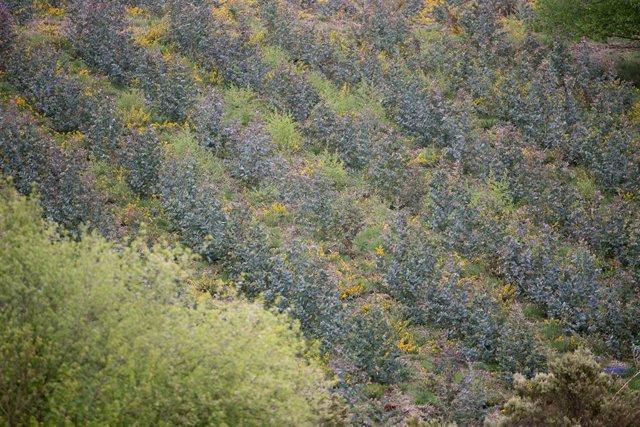 Repoblación de eucalipto en O Cádavo, A Fonsagrada a 22 de abril de 2021, en Lugo, Galicia (España). La moratoria para la plantación de eucalipto entrará en vigor en mayo, para acelerar se está procediendo a la tala de otras especies como el pino. La Xunt