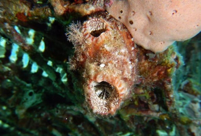 Polycarpa mytiligera, la ascidia del estudio