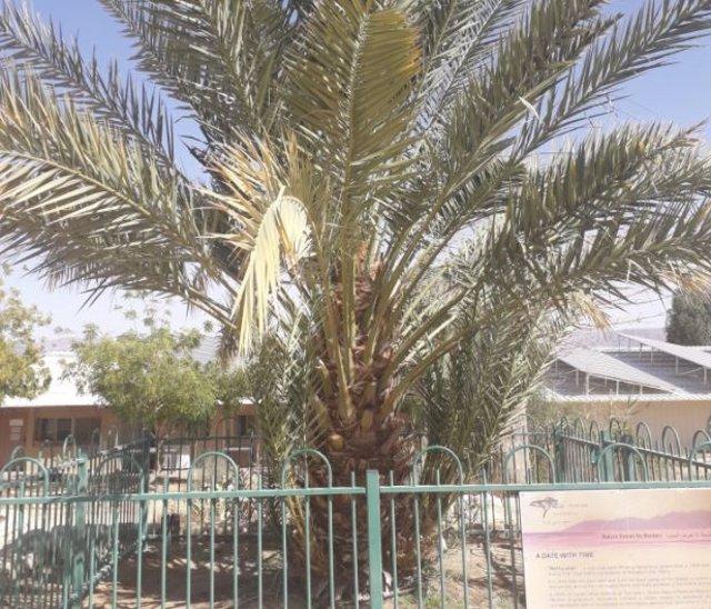 Una de las palmeras datileras que germinó a partir de una semilla de 2.200 años, que ahora crece en Israel.