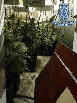 Plantación de marihuana desmantelada en Vistahermosa en El Puerto