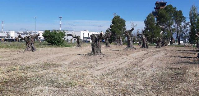 El aeropuerto de Granada acoge la replantación de 20 ejemplares de olivo