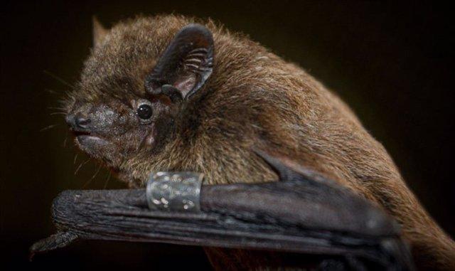 Un murciélago Nathusius capturado durante los experimentos.