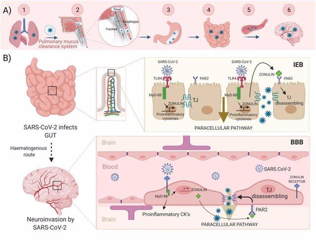 Un Trabajo Señala A La Molécula Zonulina Como El Mecanismo De Contagio Neurológico De La COVID-19, A Través De Los Sistemas Digestivo Y Respiratorio.