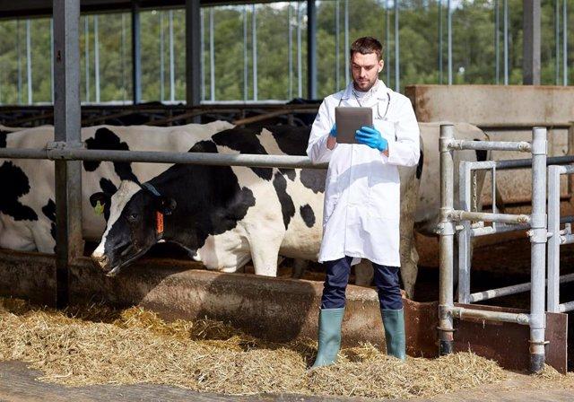 Un veterinario en una explotación vacuna.