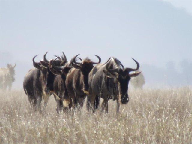 Los ñus migran en fila en las llanuras del Serengeti, Tanzania.