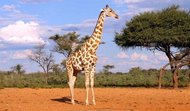 """Las jirafas viven en las sabanas del África subsahariana, incluida Namibia. La Unión Internacional para la Conservación de la Naturaleza (UICN) los clasifica como """"vulnerables""""."""
