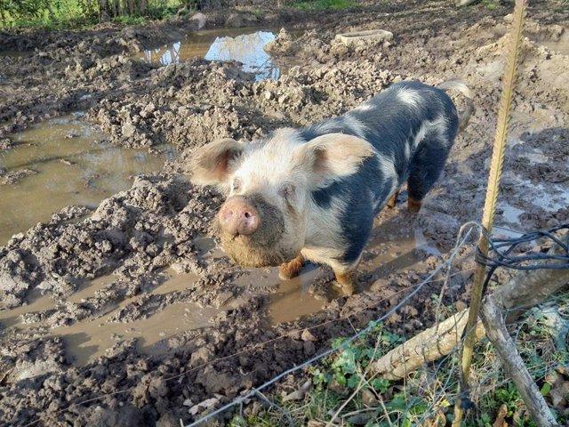 Archivo - Imagen de archivo de un cerdo.