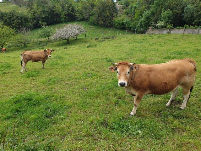 Vacas, asturiana de los valles, rural, campo, PAC.