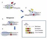 Foto: Un estudio revela cómo un antiviral confunde la maquinaria de replicación del SARS-CoV-2