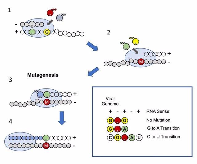 Modelo de mutagénesis del molnupiravir. Incorporación de nucleótidos mediada por la polimerasa del SARS-CoV-2 (óvalo) en el cebador de ARN (círculos grises)/plantilla (círculos blancos)