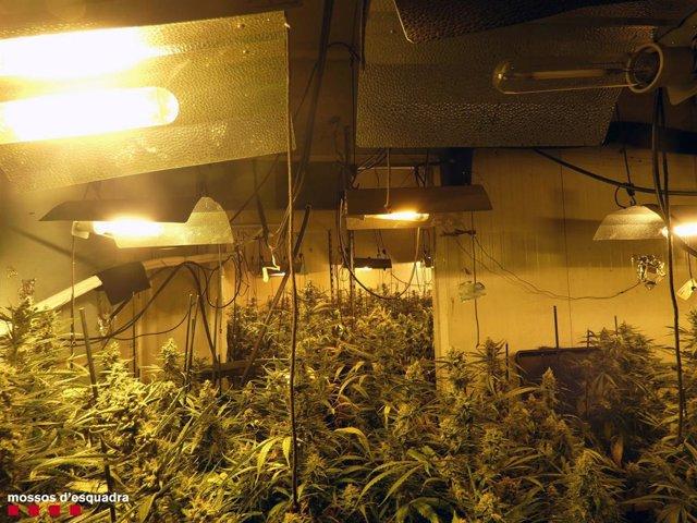 Imatge de l'interior d'un dels espais amb plantes de marihuana a Constantí (Tarragona).