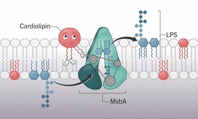 La cardiolipina (mostrada en rojo) asiste al transportador de lipopolisacáridos (mostrado en azul), MsbA (mostrado en verde).