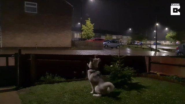Este husky escucha un trueno por primera vez y reacciona así de confundido