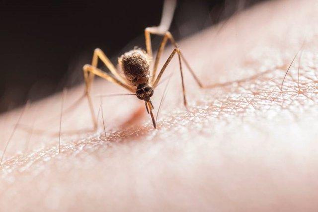 Archivo - Imagen recurso de un mosquito