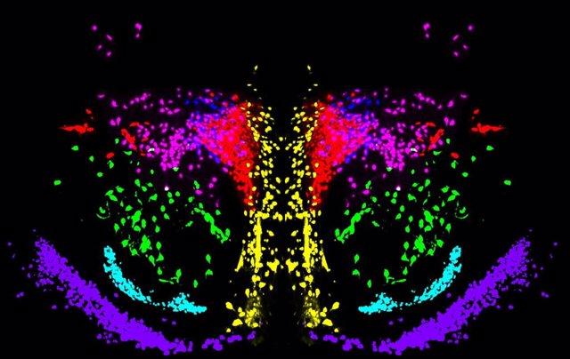 Reconstrucción tridimensional de las neuronas de oxitocina (en verde) y vasopresina (en rojo) en el hipotalamo.