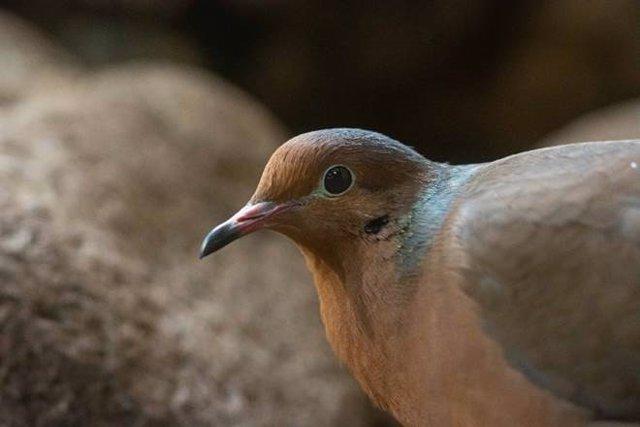 Neixen al Zoo de Barcelona dos polls de tórtora de Socorro, espècie considerada extinta