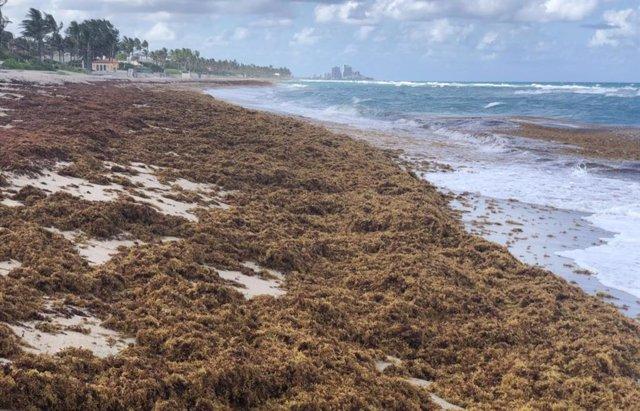 Una foto muestra sargazo amontonado en una playa en el condado de Palm Beach, Florida.