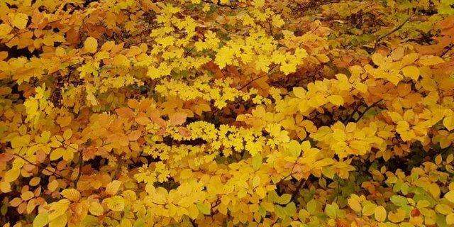 Archivo - Las hojas cambian de color en otoño. A medida que continúe el calentamiento global, esto podría comenzar a suceder antes, y no más tarde como se esperaba generalmente