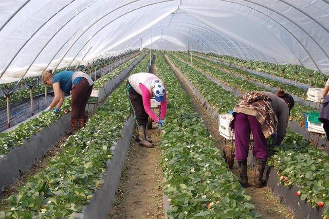 Archivo - Trabajadores en una plantación fresera.