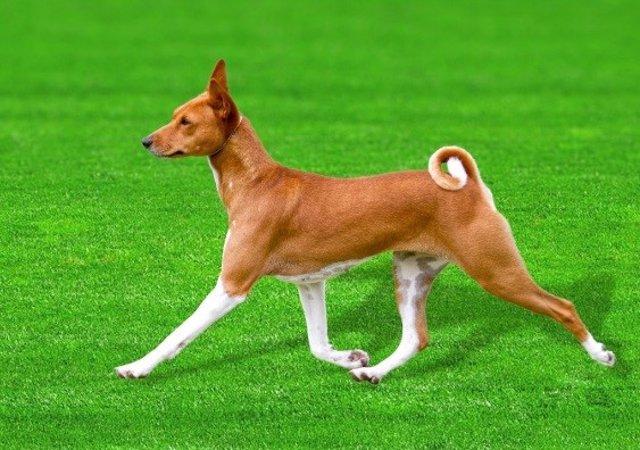 La secuencia de ADN de un Basenji llamado 'China' (en la foto) podría tener un gran impacto en la comprensión de la evolución del perro, la domesticación y las enfermedades genéticas caninas.
