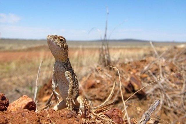 Dragón sin orejas de Roma (Tympanocryptis wilsoni), descrito en 2014, restringido a los pastizales en el oeste de Darling Downs QLD y recientemente ha sido catalogado como vulnerable en Queensland.