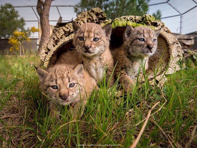 Tres crías de lince ibérico