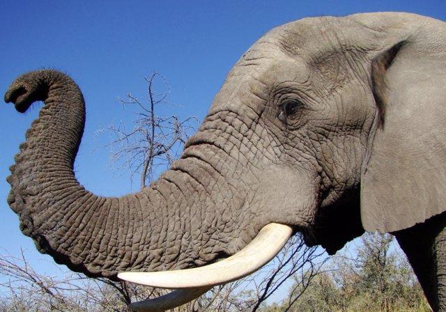 El elefante usa su trompa como una navaja suiza