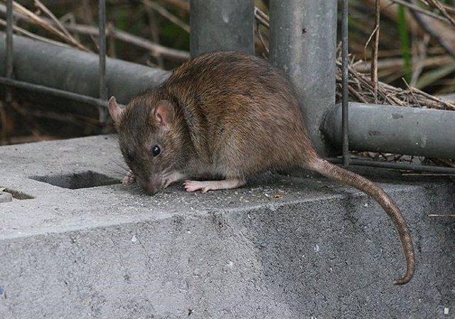 ADEPAP alerta de las plagas de ratas para este verano.