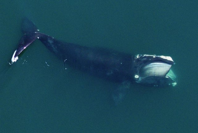 Una ballena franca del Atlántico norte alimentándose en Cape Cod Bay. Las ballenas francas se alimentan de densos parches de copépodos en el Golfo de Maine todos los veranos.