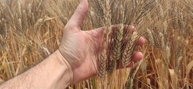 Cultivo de trigo.