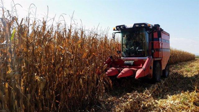 Archivo - Argentina levanta la suspensión de las exportaciones de maíz