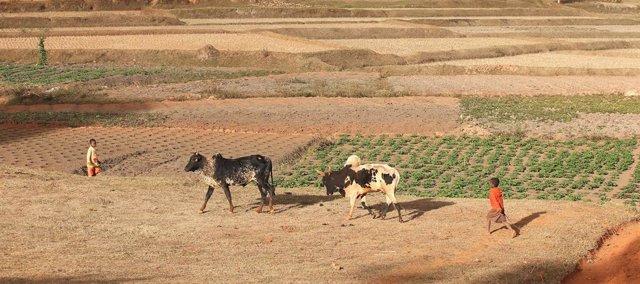 Archivo - Un niño camina junto a cabezas de ganado en Madagascar, en junio de 2014