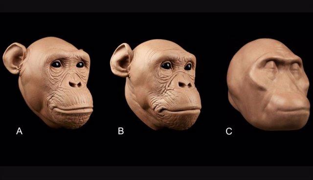 El tejido blando para estas aproximaciones de caras de homínidos se predijo con ecuaciones desarrolladas por los autores. No hay rasgos faciales presentes en el antiguo homínido (C), ya que los autores admiten que sus ecuaciones no dicen nada sobre ellos.