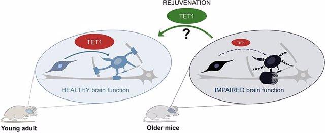 En los ratones adultos jóvenes (izquierda), la TET1 está activa en las células oligodendrogliales, especialmente después de una lesión, lo que conduce a la formación de nueva mielina y a una función cerebral saludable.