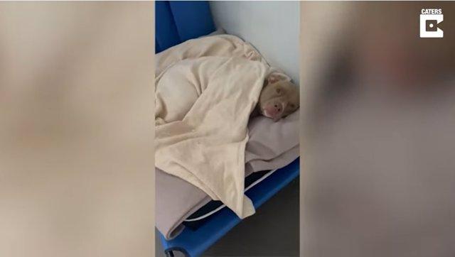 La adorable reacción de este perro de tres patas cuando le despiertan con una buena dosis de mimos