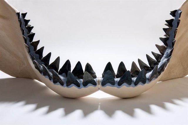 Las mandíbulas de los tiburones están hechas de cartílago, el mismo tejido flexible que se encuentra en las narices y oídos de los humanos.