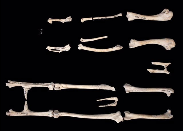 Gallo de la Edad de Hierro de Houghton Down, Hampshire, fechado por radiocarbono entre los siglos IV y III a.C. El análisis de las espuelas sugiere que el ave vivió al menos dos años