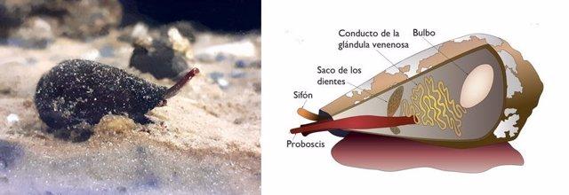 Archivo - Ejemplar adulto de 'Lautoconus ventricosus' (izquierda). Esquema de la morfología interior de los conos (derecha)