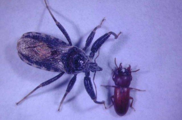 Un redúvido  acercándose a un escarabajo de la harina de cuernos anchos macho