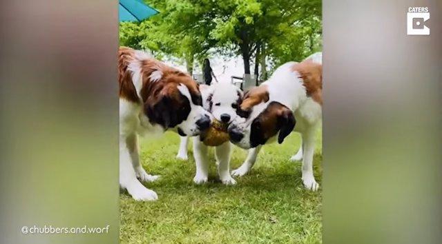 Tres bulliciosos San Bernardo jugando y peleando todo el día son la alegría de una mujer de Gibbon, Minnesota