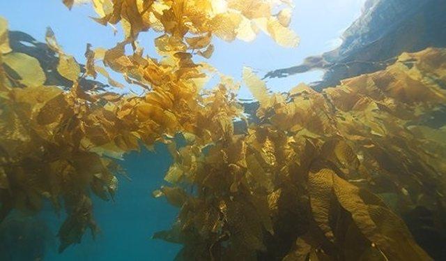 Bosques de algas marinas