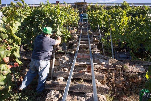 Archivo - Dos vendimiadores cortan racimos de uvas en un viñedo