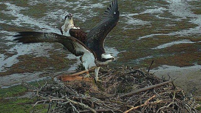 Águilas Pescadoras