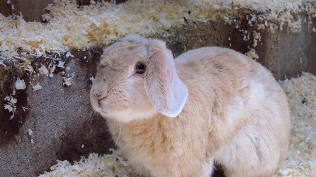 Archivo - Conejo, Cunicultura