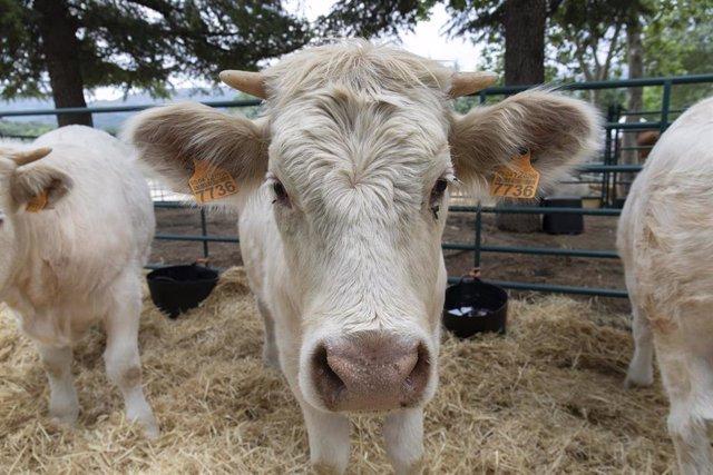 Una vaca cherolesa
