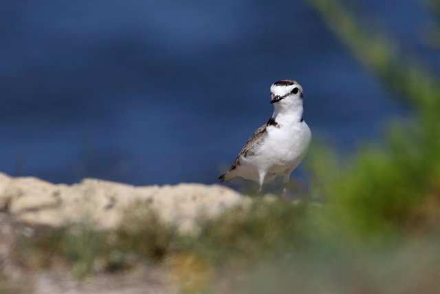 'Picaplatges camanegre' en la costa de s'Albufera de Mallorca en la zona cerrada temporalmente para su cría en s'Oberta