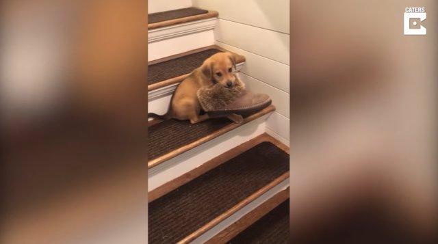 Pillan con las manos en la masa a este travieso cachorro robando un zapato de su dueña