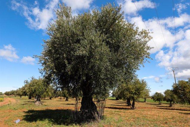 Archivo - Campo de olivos en las inmediaciones de la localidad de Campo Real, al sureste de Madrid, famosa por sus aceitunas de la variedad manzanilla y aderezadas elaborado con las plantas aromáticas de la zona. En Campo Real (Madrid, España), a 2 de abr